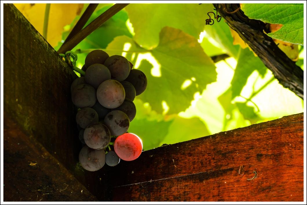 Las uvas y el azar