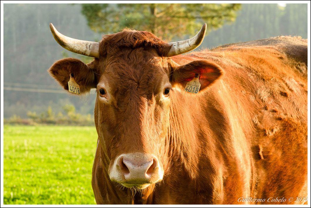 Vaca-4.jpg